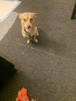 Shiba Inu Puppies for sale in Peekskill, NY, USA. price: NA