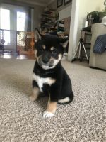 Shiba Inu Puppies for sale in Virginia Beach, VA, USA. price: NA