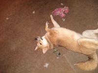 Shiba Inu Puppies for sale in Bloomington, IN, USA. price: NA
