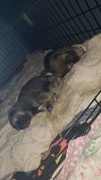 Shiba Inu Puppies for sale in Fort Wayne, IN, USA. price: NA