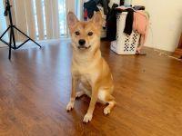 Shiba Inu Puppies for sale in 4835 Crestone Way, Rochester, MI 48306, USA. price: NA