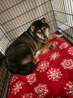 Shiba Inu Puppies for sale in Henderson, NV, USA. price: NA