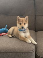 Shiba Inu Puppies for sale in St. George, UT 84790, USA. price: NA
