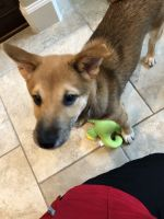 Shiba Inu Puppies for sale in Clearwater, FL, USA. price: NA