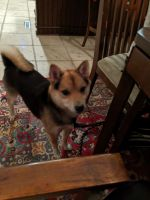 Shiba Inu Puppies for sale in Lancaster, PA, USA. price: NA