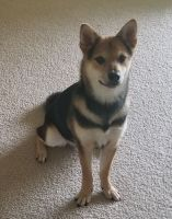 Shiba Inu Puppies for sale in Lehigh Acres, FL, USA. price: NA