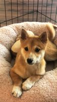 Shiba Inu Puppies for sale in Los Angeles, CA 90015, USA. price: NA