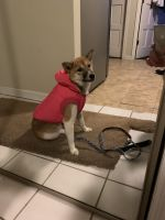Shiba Inu Puppies for sale in Brooklyn, NY 11229, USA. price: NA