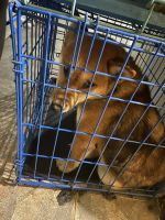Shiba Inu Puppies for sale in Brooklyn, NY, USA. price: NA