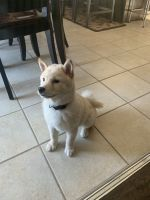 Shiba Inu Puppies for sale in Jacksonville, NC, USA. price: NA