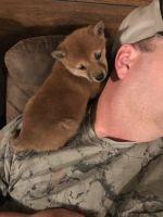 Shiba Inu Puppies for sale in Fair Grove, MO 65648, USA. price: NA