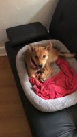 Shiba Inu Puppies for sale in Hollywood, FL 33020, USA. price: NA