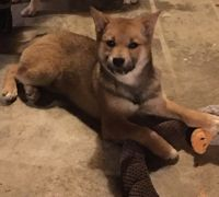 Shiba Inu Puppies for sale in Hebron, KY 41048, USA. price: NA