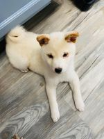 Shiba Inu Puppies for sale in West Deptford, NJ, USA. price: NA