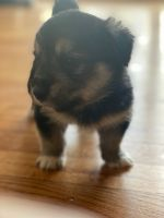 Shiba Inu Puppies for sale in Silver Spring, MD, USA. price: NA