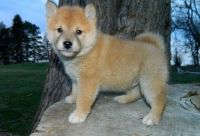 Shiba Inu Puppies for sale in SC-707, Myrtle Beach, SC, USA. price: NA