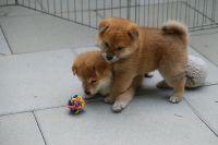 Shiba Inu Puppies for sale in Illinois City, IL 61259, USA. price: NA