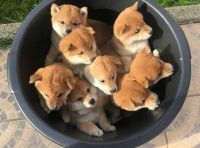 Shiba Inu Puppies for sale in Tennessee City, TN 37055, USA. price: NA