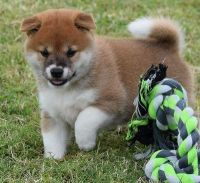 Shiba Inu Puppies for sale in Knoxville, TN, USA. price: NA