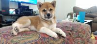 Shiba Inu Puppies for sale in Las Vegas, NV, USA. price: NA