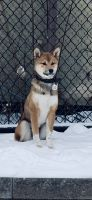 Shiba Inu Puppies for sale in St Paul, MN, USA. price: NA