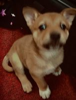 Shiba Inu Puppies for sale in Independence, MO, USA. price: NA