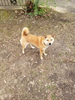 Shiba Inu Puppies for sale in Meadville, MS 39653, USA. price: NA
