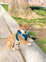 Shiba Inu Puppies for sale in Jersey City, NJ 07307, USA. price: NA