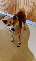 Shiba Inu Puppies for sale in Columbia, MO, USA. price: NA