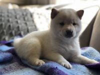 Shiba Inu Puppies for sale in Olive Branch, MS 38654, USA. price: NA