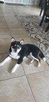 Shiba Inu Puppies for sale in Jacksonville, FL, USA. price: NA
