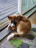 Shiba Inu Puppies for sale in Fowler, IN 47944, USA. price: NA