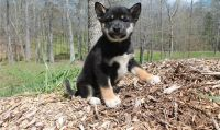 Shiba Inu Puppies for sale in Allentown, PA, USA. price: NA