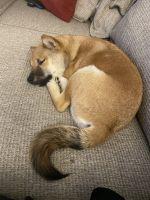 Shiba Inu Puppies for sale in Yorktown, VA 23690, USA. price: NA