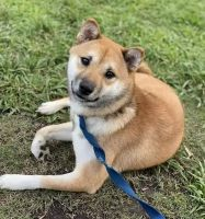 Shiba Inu Puppies for sale in 43523 CA-299, Fall River Mills, CA 96028, USA. price: NA