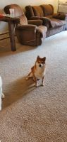 Shiba Inu Puppies for sale in Colorado Springs, CO, USA. price: NA