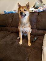 Shiba Inu Puppies for sale in Chester, VA, USA. price: NA