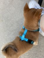 Shiba Inu Puppies for sale in West Jordan, UT, USA. price: NA