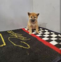 Shiba Inu Puppies for sale in Mertens, TX 76666, USA. price: NA