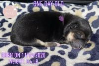Shiba Inu Puppies for sale in Spring, TX 77389, USA. price: NA