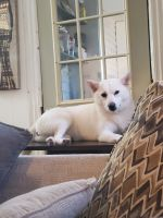Shiba Inu Puppies for sale in Lockport, NY 14094, USA. price: NA