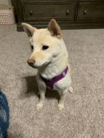 Shiba Inu Puppies for sale in Midlothian, TX 76065, USA. price: NA