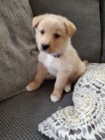Shiba Inu Puppies for sale in Hudson Falls, NY 12839, USA. price: NA