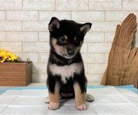 Shiba Inu Puppies for sale in California City, CA, USA. price: NA