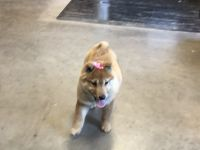 Shiba Inu Puppies for sale in Boyd, WI 54726, USA. price: NA