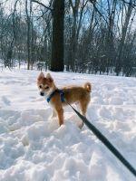 Shiba Inu Puppies for sale in Grand Rapids, MI, USA. price: NA