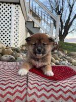 Shiba Inu Puppies for sale in Minnesota City, MN 55959, USA. price: NA