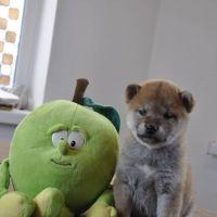 Shiba Inu Puppies Photos