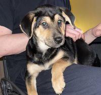 Shiba Inu Puppies for sale in Waukegan, IL, USA. price: NA