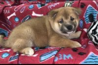 Shiba Inu Puppies for sale in Seminole, FL, USA. price: NA